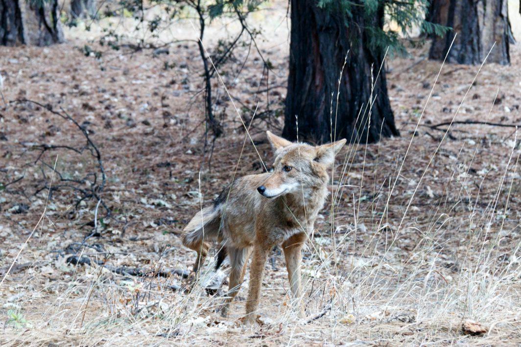 Coyote in Yosemite NP